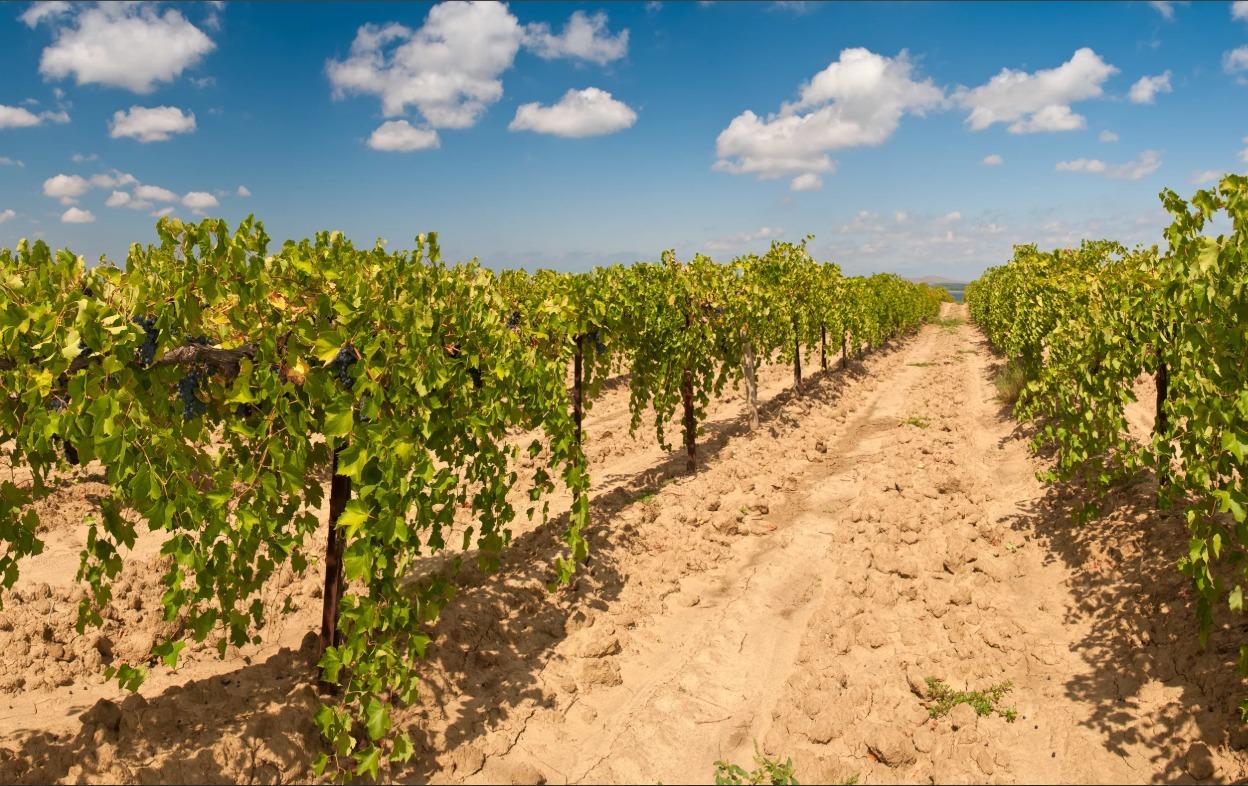 Действующие виноградники 1 951 Га